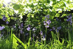 Luce solare Bluebell Immagini Stock