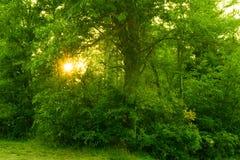 Luce solare che alza attraverso gli alberi immagine stock libera da diritti