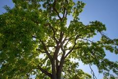 Luce solare che filtra attraverso la parte superiore dell'albero di quercia Fotografie Stock