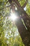 Luce solare che guarda attraverso i rami della betulla Fotografia Stock