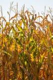 Luce solare che splende attraverso i gambi di cereale Fotografia Stock