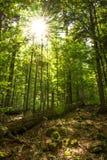 Luce solare che splende tramite le corone di vecchi alberi fotografia stock