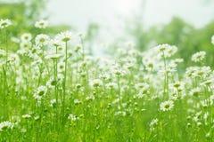 Luce solare del giacimento di fiori della camomilla Margherite di estate Bella scena della natura con la camomilla medica di fior Immagini Stock Libere da Diritti