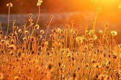 Luce solare dell'oro del fiore dell'erba che soffia nelle sedere del mosso del vento Immagine Stock Libera da Diritti