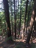 Luce solare della foresta Immagini Stock