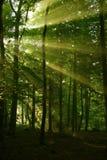 Luce solare della foresta Fotografie Stock Libere da Diritti