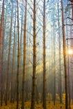 luce solare della foresta Immagine Stock