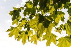 Luce solare delle foglie di acero Fotografia Stock