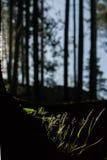 Luce solare di primo mattino in foresta Fotografia Stock Libera da Diritti