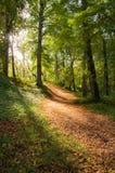 Luce solare dorata stupefacente che viene attraverso gli alberi e che alleggerisce su un sentiero nel bosco di autunno Immagine Stock Libera da Diritti