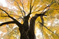 Luce solare e Autumn Tree Immagine Stock Libera da Diritti