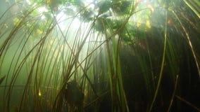 Luce solare e Lily Pads in lago video d archivio
