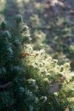 Luce solare fredda di mattina sugli aghi verdi immagini stock libere da diritti