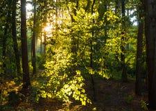 Luce solare magica nella foresta Fotografia Stock