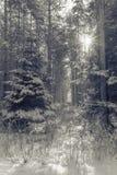 Luce solare nella foresta di inverno fotografia stock