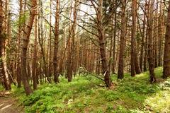 Luce solare nella foresta magica Fotografia Stock