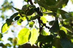 Luce solare retroilluminata attraverso gli alberi Fotografia Stock