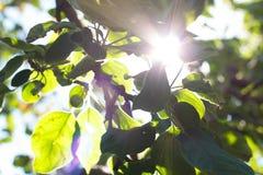 Luce solare retroilluminata attraverso gli alberi Immagine Stock Libera da Diritti