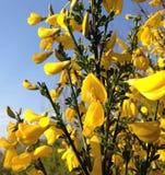 Luce solare sui fiori dal profumo delizioso della siepe di arbusti gialla fotografie stock libere da diritti
