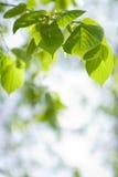 Luce solare sui fogli Fotografia Stock