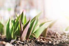 Luce solare sui tulipani del germoglio immagine stock