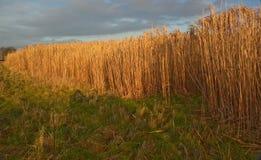 Luce solare sull'erba dell'elefante Miscanthus Fotografia Stock
