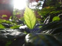 Luce solare tramite una foglia immagini stock libere da diritti