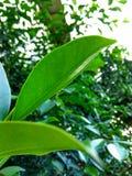 Luce solare verde del vento dell'albero della foglia fresca Fotografia Stock Libera da Diritti