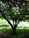Luce verde del fondo della natura della foglia dell'albero Immagine Stock Libera da Diritti