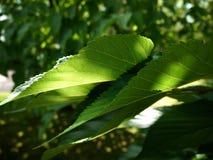 Luce verde sopra le foglie Immagini Stock Libere da Diritti