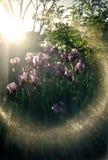 Luce vivida del sole sulle iridi Fotografie Stock Libere da Diritti
