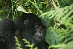 Luce vivida della gorilla Immagini Stock