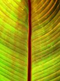 Lucent Banana Leaf Stock Image