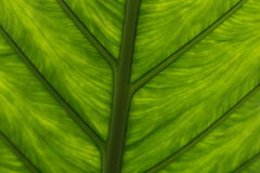 Lucent green leaf Royalty Free Stock Photos