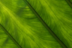 Lucent green leaf Stock Photos