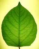 Lucent leaf Royalty Free Stock Photo