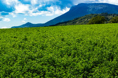 Lucerna fields in the mountains. In the alps Royalty Free Stock Image