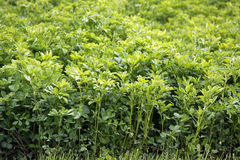 Lucerne alfalfa. (Medicago sativa) is a versatile plant in crop and livestock production. For alfalfa is characterized by rapid growth and high nutritional Stock Photo