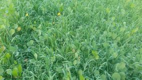 Lucerne & Barley Mixed Fodder Crop In Field royalty free stock images