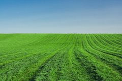 Lucerne field. Under clear blue sky Stock Photography