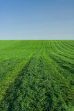 Lucerne field. Under clear blue sky Royalty Free Stock Photography