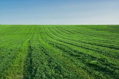 Lucerne field Stock Photography