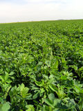 Lucerne field Royalty Free Stock Images