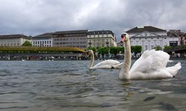 Lucerne, Switzerland, the white swans on Lake Luce Royalty Free Stock Image