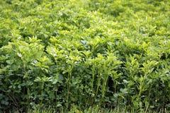 Lucerny alfalfa Zdjęcie Stock