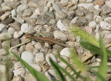 蜥蜴- Lucertola 免版税库存图片