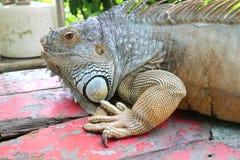 Lucertola animale del parco dello zoo della Tailandia Immagine Stock