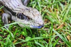 Lucertola australiana della linguetta blu immagini stock libere da diritti