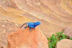 Lucertola blu dell'agama fotografie stock libere da diritti