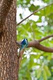 Lucertola blu sull'albero Immagini Stock